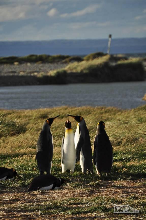 Fim de tarde em pinguinera na Terra do Fogo, no sul do Chile
