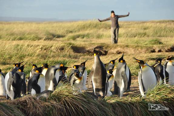 Nosso reencontro com pinguins rei em uma pinguinera na Terra do Fogo, no sul do Chile