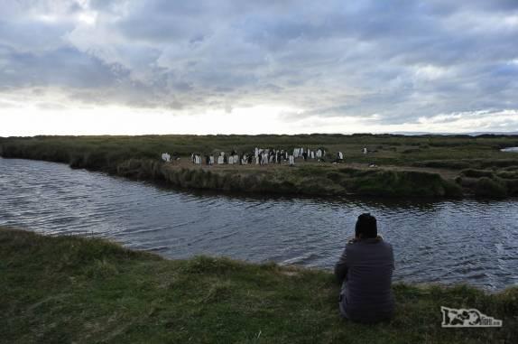 Observando pinguins rei em uma pinguinera na Terra do Fogo, no sul do Chile