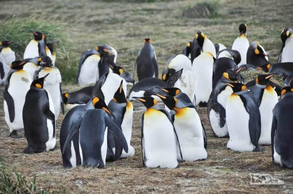 Reencontro com pinguins rei em uma pinguinera na Terra do Fogo, no sul do Chile